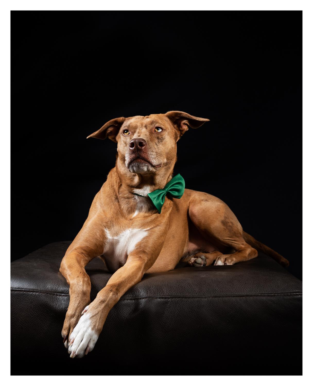 Dixon Dogs, Dixon Dog Photography, Dixon Photography, dog photography Melbourne, pet photography Melbourne, Melbourne dog photographer, pet photography mini-sessions, dog photos Melbourne, studio dog photography, koolie cross, ridgeback cross
