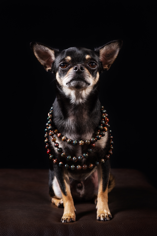Dixon Dogs, Dixon Dog Photography, Dixon Photography, dog photography Melbourne, pet photography Melbourne, Melbourne dog photographer, pet photography mini-sessions, dog photos Melbourne, studio dog photography, chihuaha