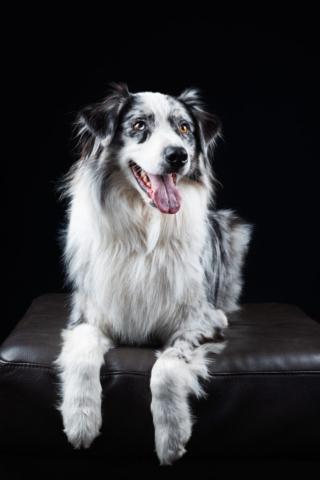 Dixon Dogs, Dixon Dog Photography, Dixon Photography, dog photography Melbourne, pet photography Melbourne, Melbourne dog photographer, pet photography mini-sessions, dog photos Melbourne, studio dog photography, australian shepherd, aussie, aussie dog