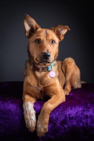 Dixon Dog Photography, Dixon Photography, dog photography Melbourne, pet photography Melbourne, Melbourne dog photographer, pet photography mini-sessions, dog photos Melbourne, studio dog photography