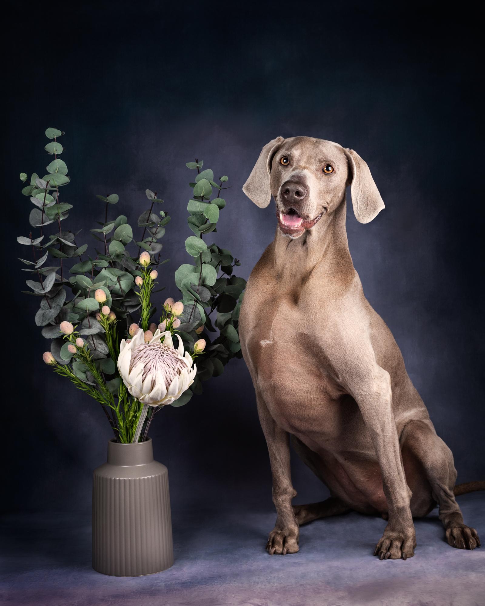 Dixon Dog Photography, Dixon Photography, dog photography Melbourne, pet photography Melbourne, Melbourne dog photographer, pet dog photos Melbourne, studio dog photography, weimerana, grey dog, big dog, dog and flowers