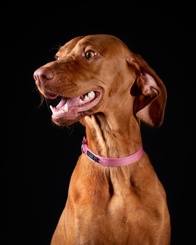 Dixon Dogs, Dixon Dog Photography, Dixon Photography, dog photography Melbourne, pet photography Melbourne, Melbourne dog photographer, pet photography mini-sessions, dog photos Melbourne, studio dog photography, viszla, hungarian vizla